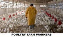 poultry-worker2-copy